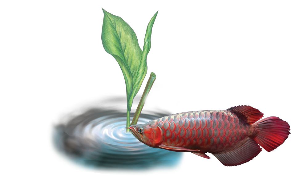 OF O Arowana Disease